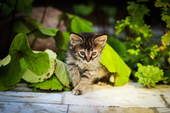 O gatinho sob as folhas, gatinho espreita para fora de debaixo de uma folha, esconder da vaquinha Imagens de Stock Royalty Free