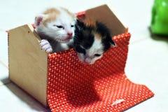 O gatinho tailandês é bonito Foto de Stock Royalty Free