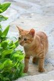 O gatinho vermelho fotografia de stock royalty free