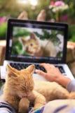 O gatinho vermelho lambe sua pata em joelhos humanos com portátil Fotos de Stock Royalty Free