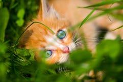 O gatinho vermelho pequeno está na grama Foto de Stock Royalty Free