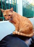 O gato é alaranjado senta-se Imagens de Stock