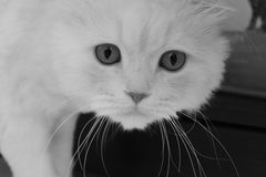 O gato Fotografia de Stock Royalty Free