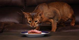 O gato Abyssinian que rouba a carne da tabela, pet o comportamento mau Fotos de Stock