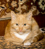 O gato agachou-se em um Boulder Foto de Stock Royalty Free