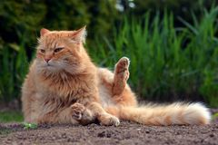 O gato agradável do gengibre senta-se na natureza Foto de Stock