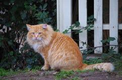 O gato alaranjado grande examina seu reino foto de stock