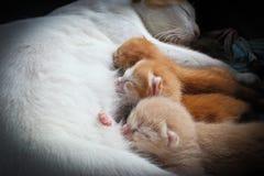 O gato alimenta gatinhos Imagem de Stock