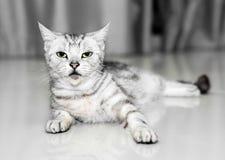 O gato americano do shorthair é de assento e de vista para a frente Imagem de Stock Royalty Free