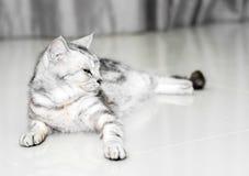 O gato americano do shorthair é de assento e de vista para a frente Imagens de Stock Royalty Free