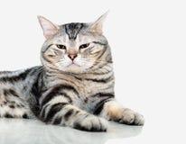 O gato americano do shorthair é de assento e de vista para a frente Fotografia de Stock Royalty Free