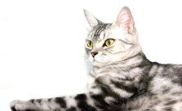 O gato americano do shorthair está sentando-se Fotografia de Stock Royalty Free