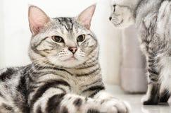 O gato americano do shorthair está sentando-se Imagem de Stock Royalty Free