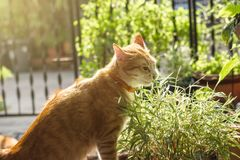 O gato aprecia comer as folhas de bambu Fotografia de Stock
