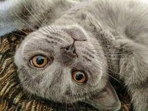 O gato azul escocês está encontrando-se em sua parte traseira fotografia de stock