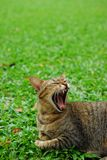 O gato barrigudo senta-se no assoalho da grama verde Fotografia de Stock Royalty Free