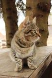 O gato Barsik de Mudlark yang está sentando-se em uma tabela de madeira Foto de Stock Royalty Free