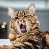 O gato bonito abriu seus boca e bocejos imagem de stock