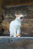 O gato bonito boceja no patamar Fotografia de Stock