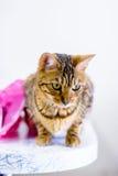 O gato bonito bonito de Bengal ajustou-se na tabela Imagem de Stock Royalty Free