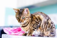 O gato bonito bonito de Bengal ajustou-se na tabela Fotos de Stock Royalty Free