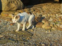 O gato bonito com pele tricolor está andando ao longo do caminho ao jardim fotografia de stock royalty free