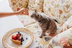 O gato bonito come algo delicioso dos anfitriões entrega, levanta no sofá em casa perto da placa com o bolo delicioso com fruto d imagens de stock royalty free