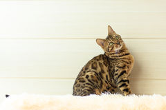 O gato bonito de Bengal no tapete Imagens de Stock