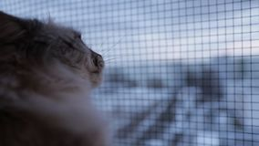 O gato bonito de Neva Masquerade que olha fora da janela que risca o vidro com ele é patas em casa dentro no inverno video estoque