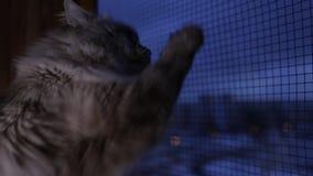 O gato bonito de Neva Masquerade que olha fora da janela que risca o vidro com ele é patas em casa dentro no inverno vídeos de arquivo