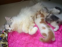O gato bonito de Tailândia está amamentando Imagens de Stock Royalty Free