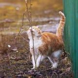 O gato bonito do gengibre foi para uma caminhada na primavera exterior e o sniffi Fotos de Stock