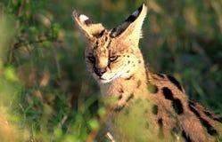 O gato bonito do Serval que senta-se no arbusto iluminou-se pela luz solar natural imagem de stock royalty free
