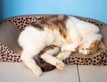 O gato bonito está dormindo em sua cama Fotografia de Stock Royalty Free