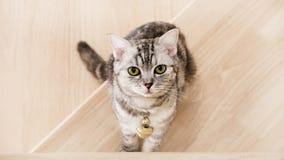 O gato bonito está sentando-se nas escadas de madeira, nos olhos verdes do gato malhado e no cinza coloridos, meio sangue america fotos de stock