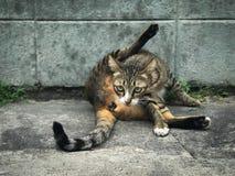O gato bonito lambido limpa-se que senta-se no assoalho imagens de stock