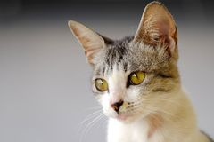 O gato bonito parece fantasia Imagem de Stock