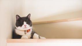 O gato bonito que dorme em escadas de madeira, orelhas da dobra do Scottish desdobra a cor cinzenta e branca fotos de stock royalty free