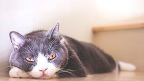 O gato bonito que dorme em escadas de madeira, orelhas da dobra do Scottish desdobra a cor cinzenta e branca foto de stock royalty free