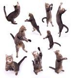 O gato bípede Fotos de Stock Royalty Free