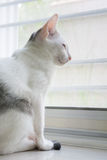O gato branco é de assento e de vista para a frente Foto de Stock