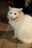 O gato branco Fotografia de Stock
