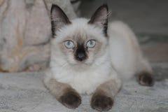 O gato branco bonito confundiu tão bonito ao sul de Tailândia Fotos de Stock Royalty Free