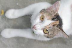 O gato branco bonito confundiu tão bonito ao sul de Tailândia Fotos de Stock