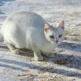 O gato branco da rua está comendo uma costoleta sem abrigo, gato dos anos de idade Fotografia de Stock