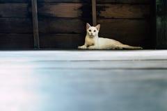 O gato branco encontra-se ao lado da parede de madeira Imagens de Stock