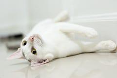 O gato branco está olhando para a frente Fotos de Stock