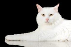 O gato branco está olhando para a frente no fundo preto com Fotos de Stock Royalty Free