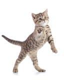 O gato brincalhão engraçado está estando Foto de Stock