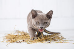 o gato brincalhão na palha em um assoalho de madeira branco salta, as caças, suportes em seus pés traseiros T Foto de Stock